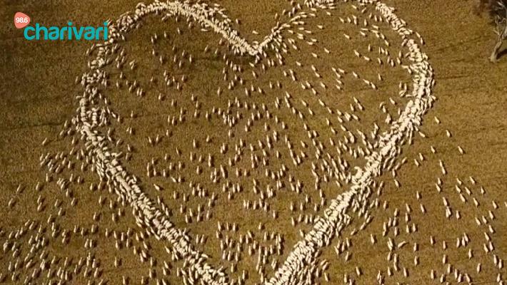 Ein Herz aus Schafen - Farmer sendet letzten Gruß an Tante